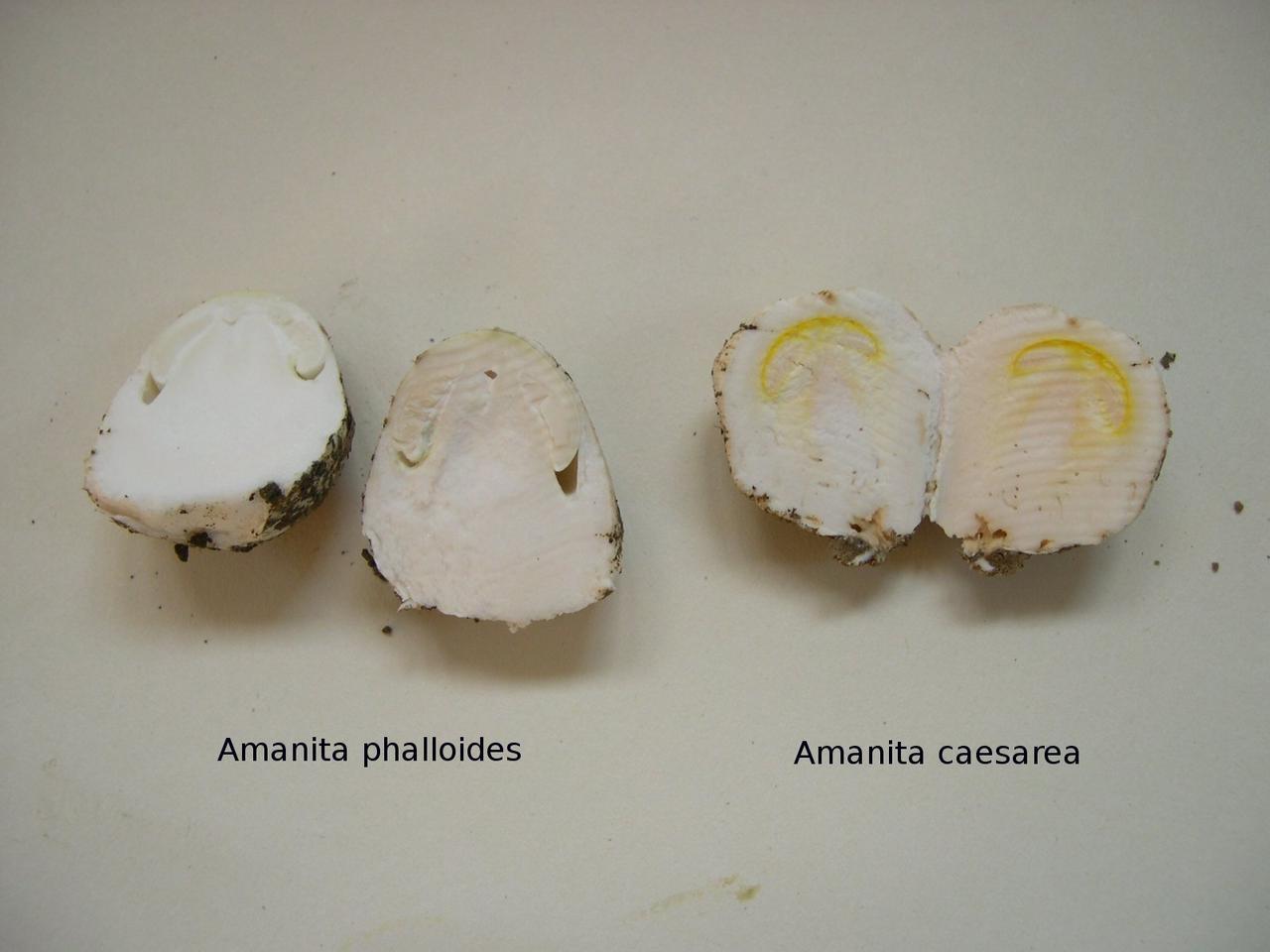Funghi e funghi 2012-phalloide-caesarea_1.jpg