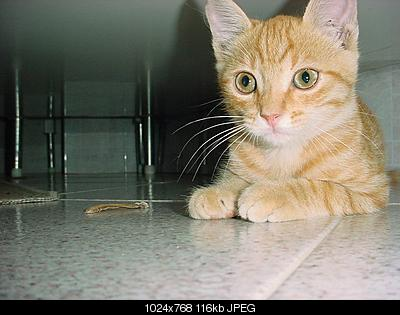 tutti i Vostri gatti  qui-tigre_young.jpg