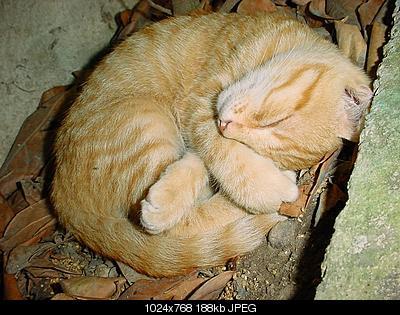 tutti i Vostri gatti  qui-tigre_young2.jpg