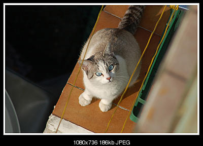 tutti i Vostri gatti  qui-gattoazzurro.jpg