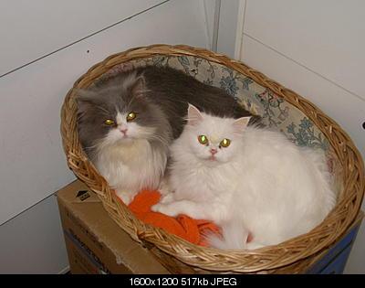tutti i Vostri gatti  qui-ciuffolo-ciuffola-in-cesta.jpg