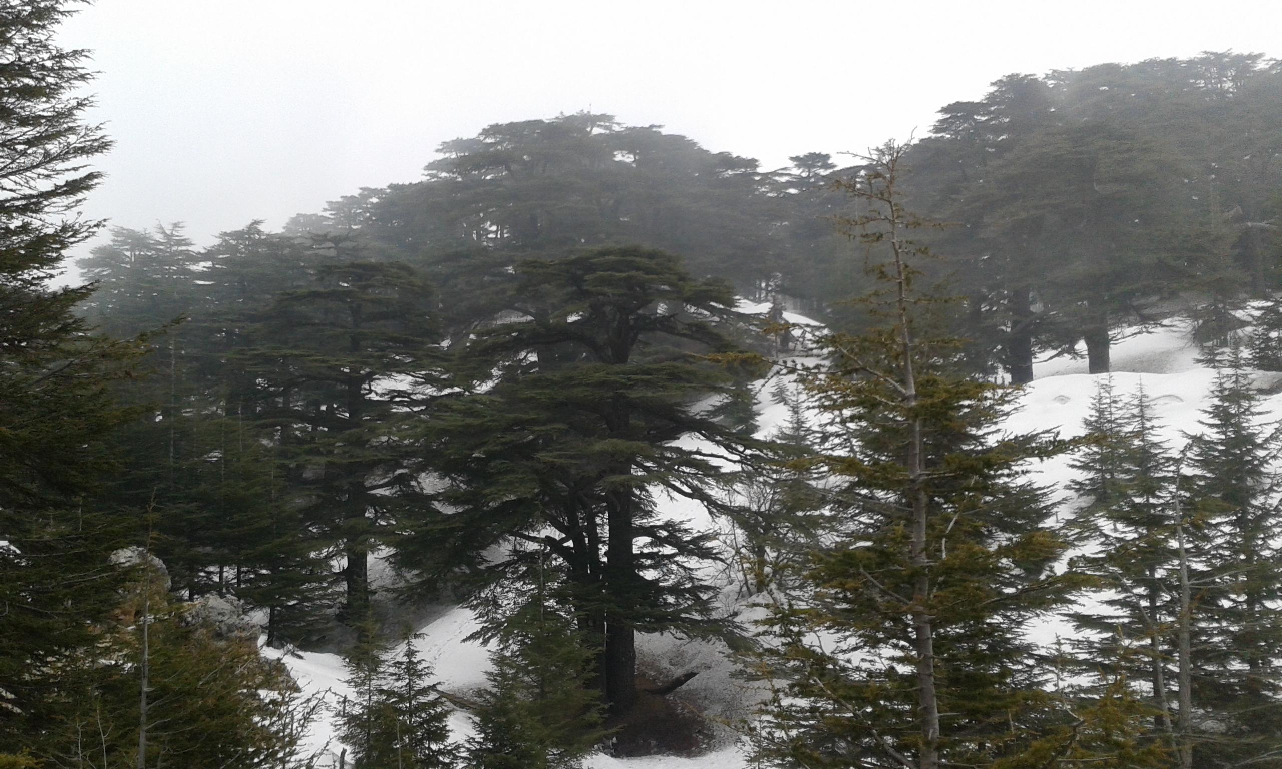 Catena del Libano - Situazione neve attraverso le stagioni-cedri-marzo-2017-cell-and-018.jpg