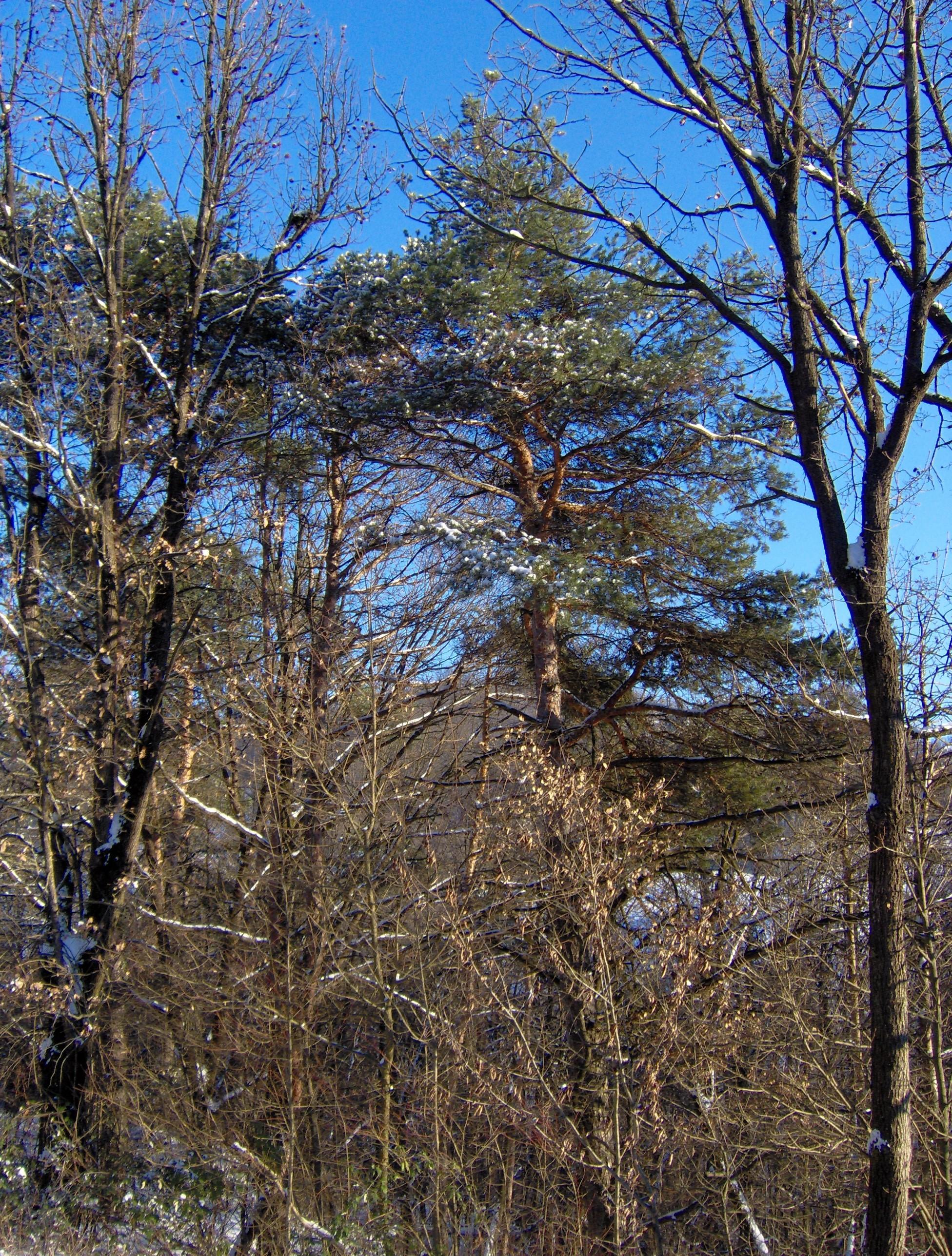 Conifere in Bulgaria-tresinaro-10.jpg